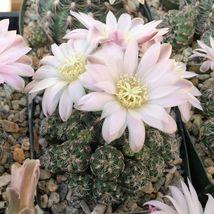 Cacti Succulent Gymnocalycium bruchii Cactus Real Live Plant - $35.89