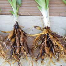 WILD DAYLILY 50 fans/root systems image 2