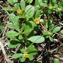 3,000 Seeds Portulaca oleracea TkSmartbuy - $26.73
