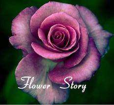 100 Purple Rose Seeds , Rare color, fresh seeds, DIY Home Garden,Potted ,Balcony - $7.00