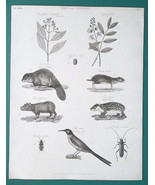 1816 NATURAL HISTORY Print - Clove Tree Beaver Carambyx Beetle Mocking C... - $10.44