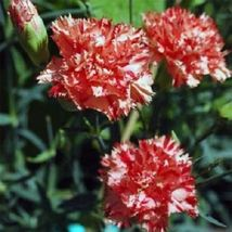 SHIP FROM US 30 Seeds Carnation Red and White Avranchnin,DIY SB Flower Seeds - $27.99