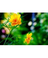 300 Pcs Seeds Bipinnatus Yellow Sulphur Cosmos Flower - DL - $14.00