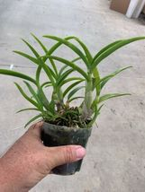 Dendrobium Blue Twinkle Antelope Type Orchid Plant Blooming Size!_@@@ image 4