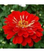 100 Seeds - Will Rogers - Zinnia Flower - $8.99