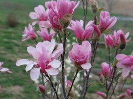 "SHIPPED FROM US, Magnolia Leonard Messel Tree 3 Plants in 3.5"" Pots gs02 - $27.99"