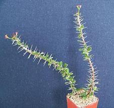 "SHIP From US, 2"" pot Euphorbia guillemetii Hybrid, succulent plant cacti EC - $36.99"