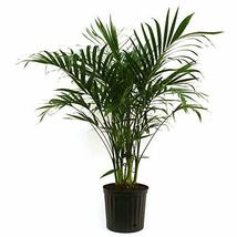 Cat Palm - Live Plant in an 10 Inch Growers Pot - Chamaedorea Cataractar... - $148.45