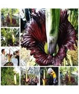 Mix Colors Bonsai Beautiful Corpse Flower Of Indonesia,The World's Large... - $7.87