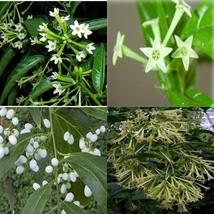 "Night Blooming Jasmine Plant Cestrum nocturnum 4""Pot Tree Indoor Housepl... - €18,22 EUR"