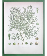 SANDARAC TREE Medicinal Callitris Quadrivalvis  - COLOR Litho Botanical ... - $21.42