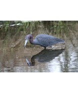 Little Blue Heron and Reflection Photo - Various Sizes - $7.50+