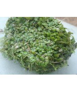 1 OZ (or more) of wet Duckweed - KOI Fish Pond Plant - $12.00