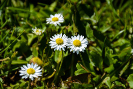 Small White and Yellow Wild Flowers Plant Digital Art Image Photograph P... - $2.00