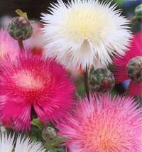 Sweet Sultan, Fragrant Cut Flower, 90 Seeds! - $13.35