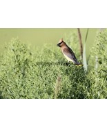 Cedar Waxwing Photo, Pick One Image - Various Sizes - $7.50+