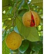 1 NUTMEG TREE Seed Myristica Fragrans Pala MACE Fruit Nut Pumpkin Pie Spice - $13.00