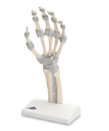3B Scientific M36 Hand Skeleton with Elastic Ligaments Anatomical Model ... - $214.95