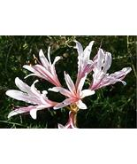 3 Lycoris Incarnata Peppermint Spider Lily Rare Bulb Heat & Cold Hardy F... - $39.60