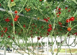 10 Giant  Red Tomato Tree Seeds-1123 - $2.98