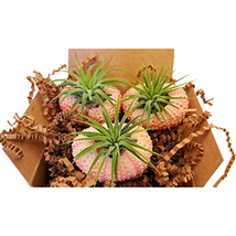 Air Plants Pack with Pink Sea Urchins / Nautical Tillandsia / Beach / Gi... - $18.72+