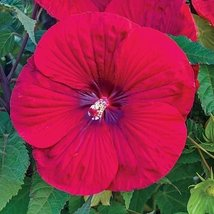 5 Bulb of Hibiscus Vintage Wine - Giant Mallow - $147.02
