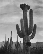 Adams - Cactus in Saguaro National Monument 2 in Arizona - 24x32 inch Ca... - $51.99