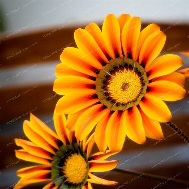 Mix 100Pcs Gorgeous Gazania Rigens Bonsai Seeds Popular Africa Bonsai
