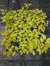 Kwanzan Flowering Cherry tree 2 plants image 6