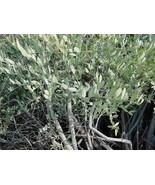 4 Variety Seeds -  Jojoba, Simmondsia chinensis Tree Seeds #TSP - $16.99+