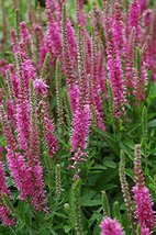 1 Quart Pot of Red Fox Spiked Speedwell Rotfuchs Rooted - $43.56