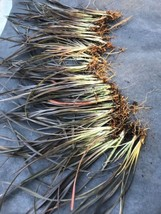 25 Bare Root Cuttings Live Plant Phormium tenax Dwarf PURPLE NEW ZEALAND... - $11.88