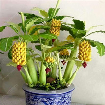 100pcs/bag rare banana seeds, bonsai fruit seed... - $0.99