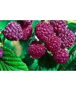 Royalty purple raspberry plants - sweet, great flavor, productive - $31.58+