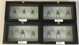 Insect Entomology Lot Collection 36pc Specimen Scorpion Lantern Fly Beetle image 10