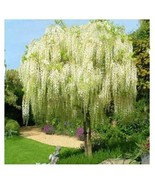 10pcs Rare White Wisteria Plant Flower Seeds Ornamental Tree - $11.45