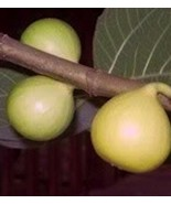 2 Cuttings of  Peter's Honey Fig Tree, Sweet and Delicious, Zone 7 to 11 - $14.73