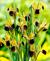 "5 Roots - Iris Black ""Snake Head"" Flower - $19.99"