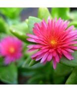 4 PLANT APTENIA CORDIFOLIA 'HEARTLEAF ICEPLANT' COMBO  - $45.99