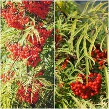 1 Starter Plant Sambucus 'Sunrise Surprise Welsh Gold' - Home Gardening D05 - $31.99