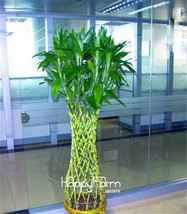 Promotion!Lucky Bamboo Seeds Potted Balcony Radiation Absorption Plantin... - $7.80