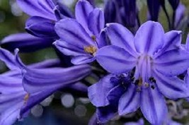Ship From Us 25 Seeds Agapanthus Purple Flower,Diy Sb Flower Seeds - $27.99