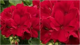 162 - 20 Red Geranium Seeds Perennial Flowers Seed Bright Flower Bloom – RR01 - $25.95