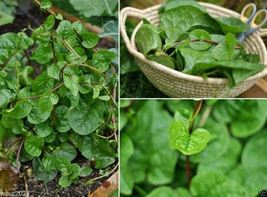 Red Malabar spinach [Guyanese thick leaf callaloo] fast-growing vine~500... - $30.98