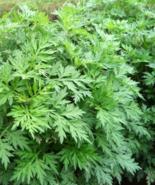 Artemisia argyi Silver Wormwood Chinese Mugwort Plant - $32.00
