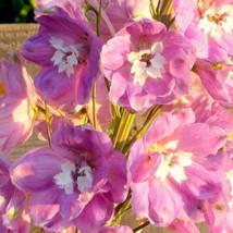 Guaranteed 100 Pink Perfection Larkspur Delphinium Consolida Ambigua Flower Seed - $7.09