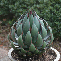 """Praying Hands"" Mangave STARTER Plant Agave/Manfreda Hybrid MOST UNIQUE ... - $32.36"