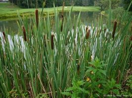 10 Cattail Plant - Cattail Typha Latifolia - Live Pond, Water, Wetland Plants  - $87.70