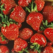 1 Bare Root of Quinalt Everbearing Strawberry - Huge Fruit Size - $43.56