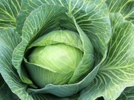 5000 Late Flat Dutch Cabbage Seeds Heirloom 2019 ( Bulk - Save!!! ) - $23.92